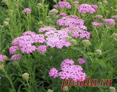 Тысячелистник Lilac Beauty (Лилак Бьюти) | Садовый центр Татьянин Сад