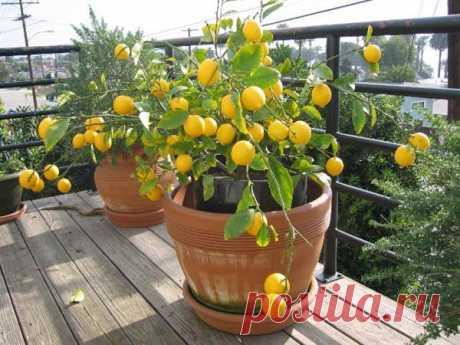 Правила выращивания комнатного лимона