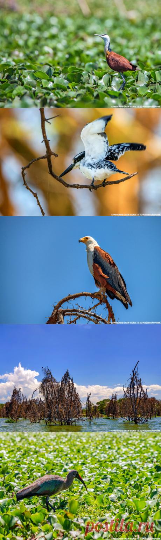 Кения. Птицы и звери озера Найваша | Не раз очарованный странник | Яндекс Дзен