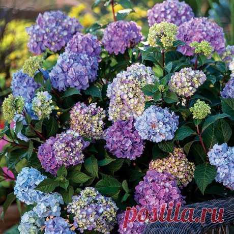 Правильная обрезка гортензий - секрет успешного цветения на будущий год