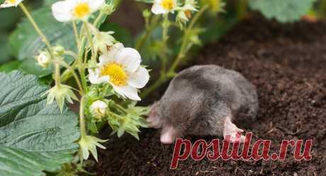 Как избавиться от кротов: экологичная обработка участка — Ботаничка.ru