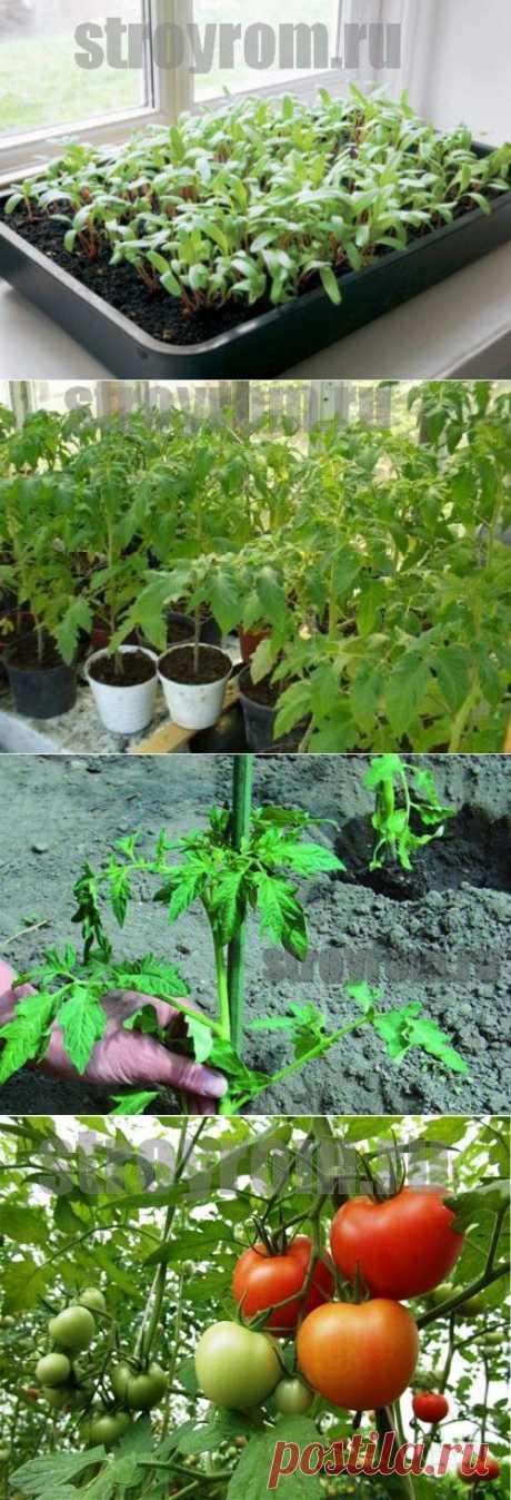 Как правильно вырастить рассаду помидор-Делай сам!