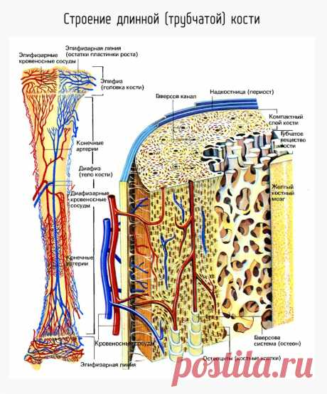Строение длинной (трубчатой) кости