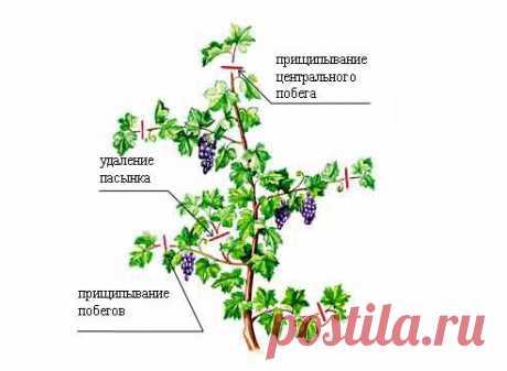 Care of grapes on Supersadovnik.ru