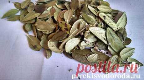 Листья брусники: лечебные свойства и противопоказания.Фото