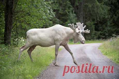 Чудо природы: белый лось попал в кадр в Швеции - Новости Общества - Новости Mail.Ru