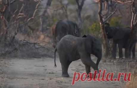 Туристы сняли на видео, как слоненок играл в футбол с самодельным мячиком Группе туристов в Южной Африке посчастливилось наблюдать за слоненком, который увлеченно играл в футбол сам с собой. В качестве мяча он использовал самодельный навозный шарик.