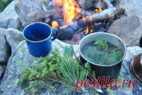 Таежный чай из хвои и еще 4 рецепта целебного напитка. Colors.life