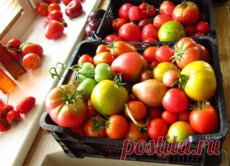 Как ускорить созревание помидоров в открытом грунте