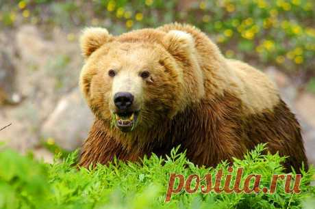 Медведь...