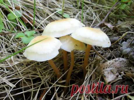 И это весенний опенок? | Это грибы! | Яндекс Дзен