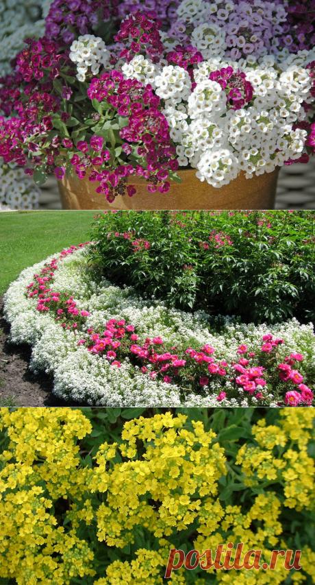 Цветок алиссум посадка, выращивание и уход в открытом грунте, сорта с фото