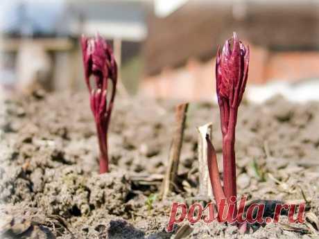 Первая подкормка пионов на стадии «красных» ростков: питательный эликсир для роскошного цветения