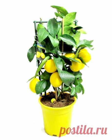 Хитрости при выращивании лимона из косточки? Почему не цветет лимон, выращенный из косточки? | О доме, саде и цветах | Яндекс Дзен