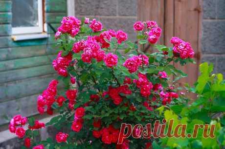 Кустовые розы: посадка и уход, виды и сорта с фото и названиями