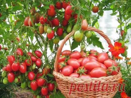 Чтобы томаты не жировали, наращивая пышную зелень в ущерб урожаю, применяем ПЯТЬ приемов: