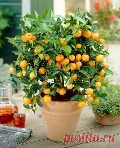Как вырастить цитрусовый сад на подоконнике | Сад и Огород | Яндекс Дзен