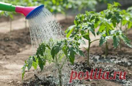 У каждого растения есть своя потребность в поливе  С конца весны и до середины лета овощи активно отращивают зелень, им требуется большое количество влаги. Однако у каждого растения есть своя потребность в поливе, при этом она может меняться в зависи…