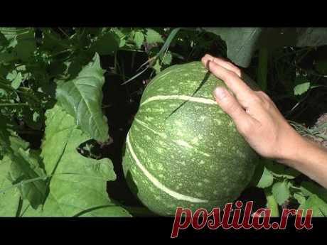 Выращивание тыквы - результат прищипывания