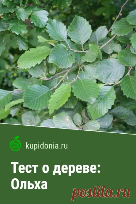 Тест о дереве: Ольха. Интересный тест об ольхе из серии тестов о деревьях. Проверьте свои знания!