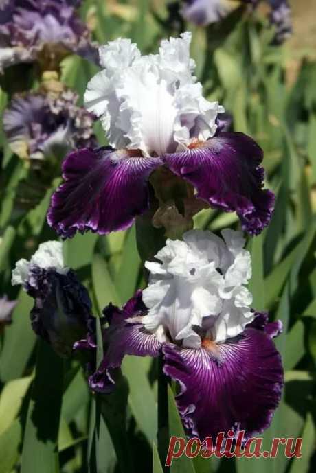 """Iris """"Dinner Talk"""" Iris Цветки ириса, Садоводство и Красивые цветы в Яндекс.Коллекциях"""