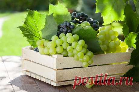 Как сохранить виноград на зиму свежим в домашних условиях? Некоторые фрукты и овощи можно довольно длительное время (до нескольких месяцев) хранить в свежем виде. Например, виноград.