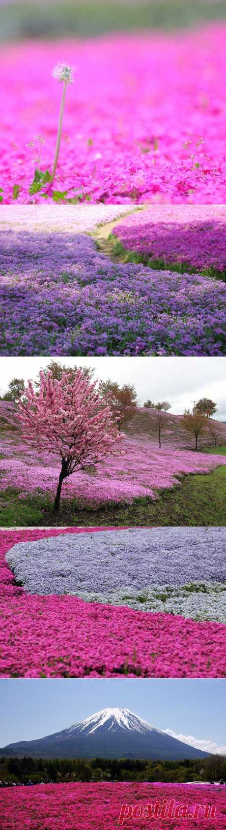 Буйство красок травяной сакуры :  НОВОСТИ В ФОТОГРАФИЯХ