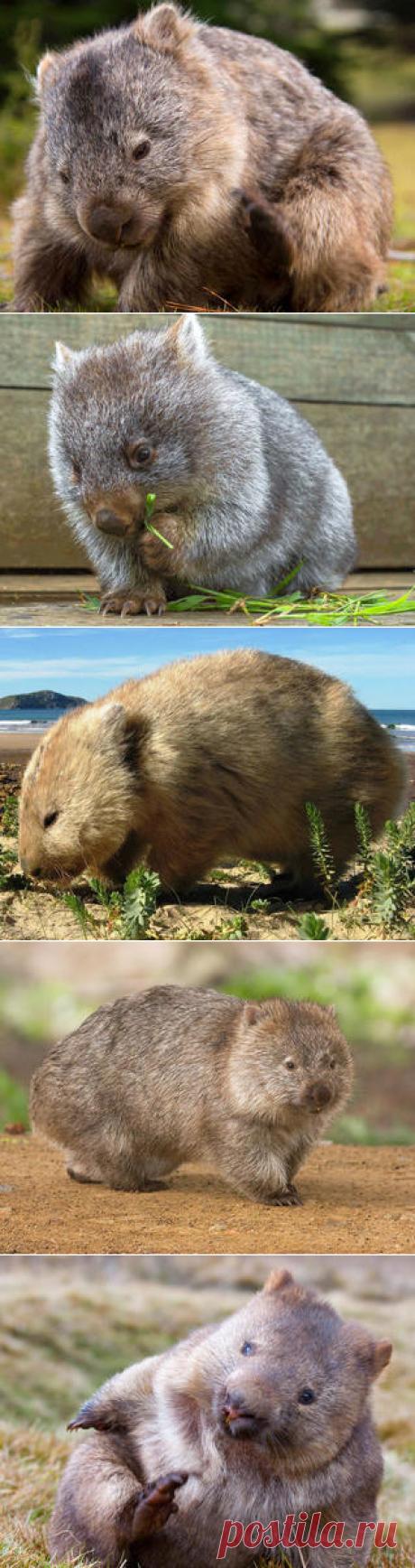 Смотреть изображения короткошёрстных вомбатов | Зооляндия