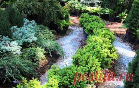Особенности выращивания канадской ели на садовом участке | 6 соток