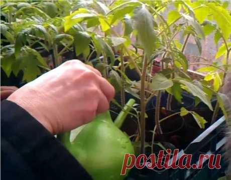 ПОДКОРМКА ДЛЯ РАССАДЫ    Рассаду помидоров поливают раствором йода для более быстрого роста (1 капля на три литра). После применения этого раствора рассада зацветёт быстрее, а плоды будут крупнее.    Может йод защитить помидоры и от фитофторы.  Для этого Вам понадобятся несколько капель йода и 250 грамм молока, смешайте их с 1 литром воды. Раствор - одна капля йода на три литра воды, этим йодным раствором надо один раз полить рассаду томатов. От этого увеличиться продуктивность и будут побольше