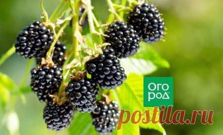 Самые сладкие сорта ежевики с фото и описанием | В саду (Огород.ru)