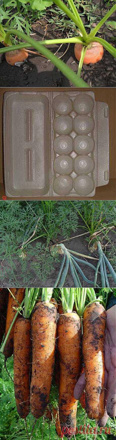 Как получить хороший урожай моркови..