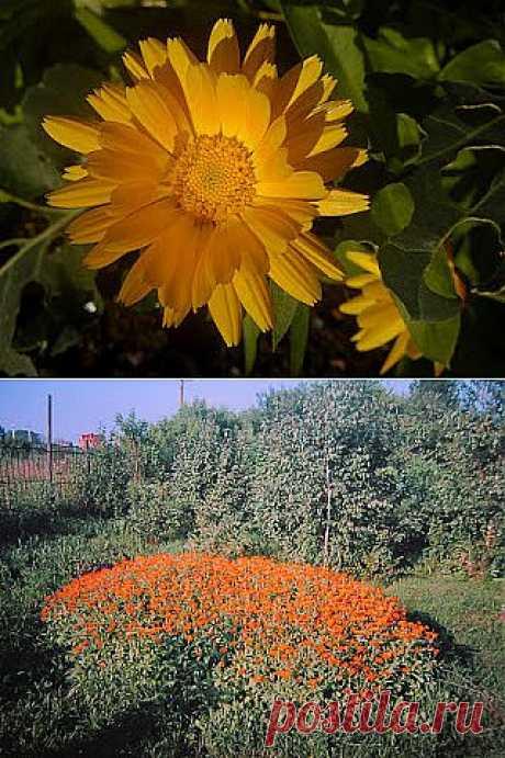 Ноготки (календула) на даче  Эти цветы родом из Южной и Северной Африки и включают в себя более 20 разновидностей однолетних и многолетних растений. Календула или ноготки могут прекрасно расти на любой почве. Это растение является замечательным украшением дачного участка благодаря ярко-оранжевой окраски обильно растущих цветков.  Моя календула уже 4 года вырастает самосевом.