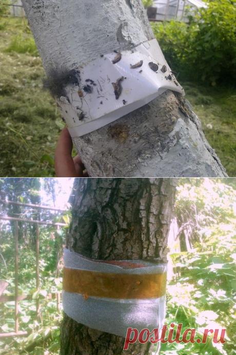 Ловчий пояс для деревьев своими руками   Дела огородные (Огород.ru)