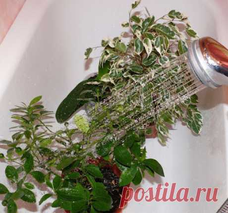 Горячий душ для растений    Да-да, вы не ослышались – именно горячий! Много раз слышала советы о том, как полезно искупать свои растения в кипяточке.  А еще горячий душ для комнатных растений – отличное пробуждение от зимней…