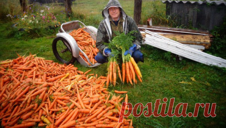 4 сорта Моркови с самой невобразимой урожайностью | Садовод Помощник | Яндекс Дзен