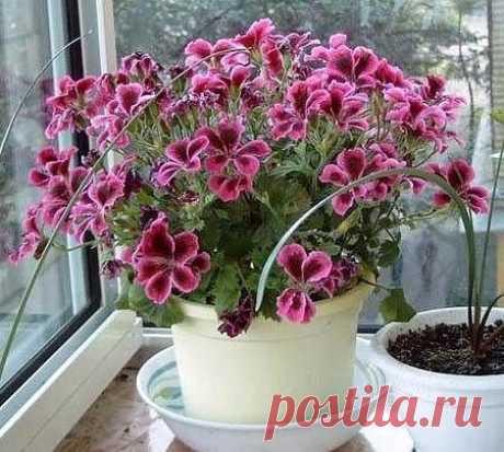 чтобы герань радовала цветением....нужна капля йода   =)