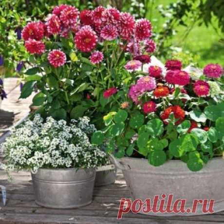 Яркая красота георгин: горшечные композиции для сада - МирТесен