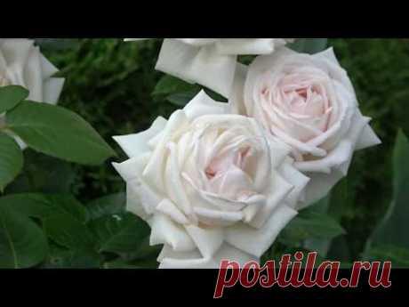 Роза Madame Anisette  Кордес.  Информация о выращивании. Подкормка роз после первой волны цветения