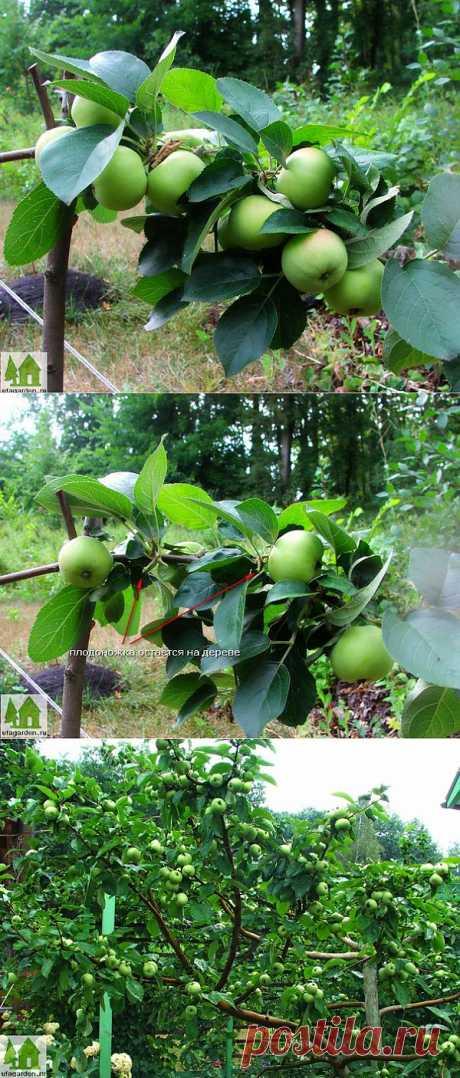 Плодоносящие яблони   Дачная жизнь - сад, огород, дача