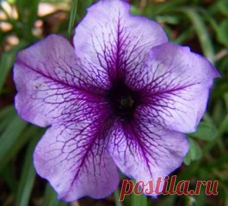 Выращиваем красавицу петунью