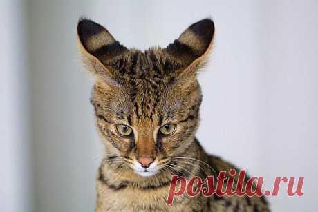 Трабл - самый большой домашний кот мира по версии экспертов Гиннеса. Его высота от плеч до кончиков лап составляет 48 сантиметров.