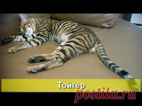 Тойгер - маленький тигр - YouTube