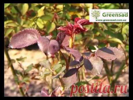 Подкормке роз - органические и минералные удобрения - YouTube