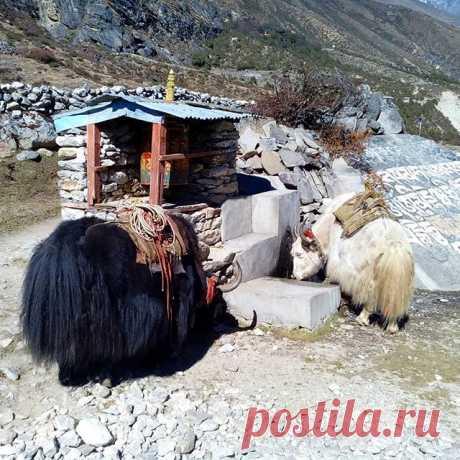 На водопое. #гималаи,#непал,#яки,#горы,#водопой,#животные,#природа,#путешествия.