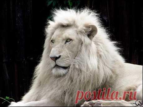 Европейский лев фото