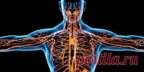 Лимфа - живая вода нашего организма Лимфатическая система - одна из самых сложных и хитро устроенных систем человека.