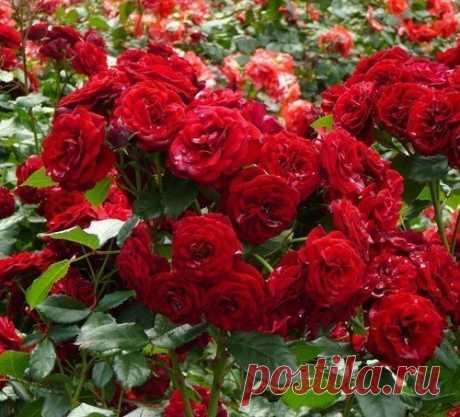 6 шагов по выращиванию роз