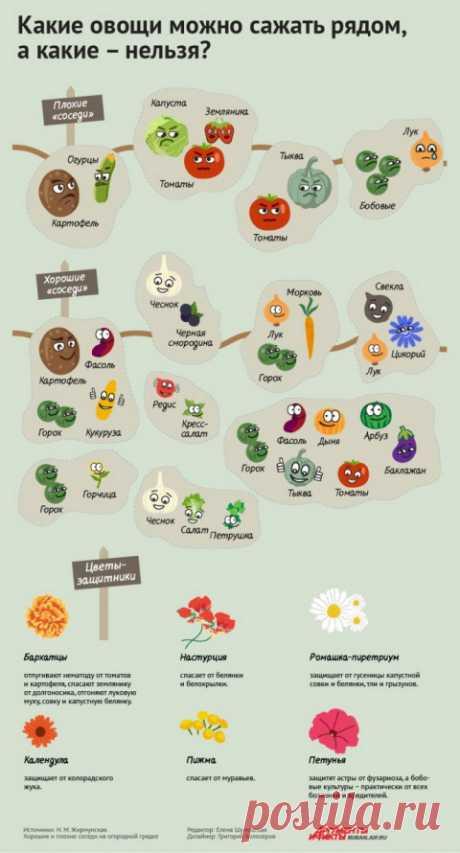 Порядок на грядках: какие растения несовместимы друг с другом. Инфографика | Полезные инструкции от aif.ru
