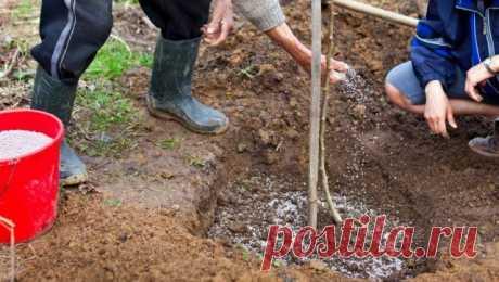 Чем подкормить яблоню и грушу осенью для лучшей зимовки и богатого урожая   Яблоня, груша (Огород.ru)